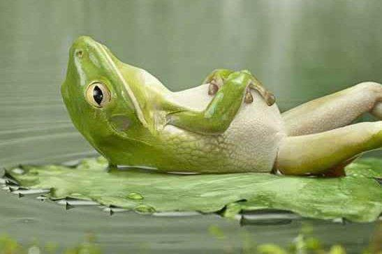 contented-froggy